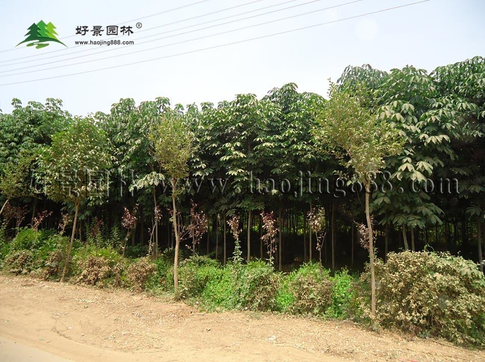七叶树修剪技术图片