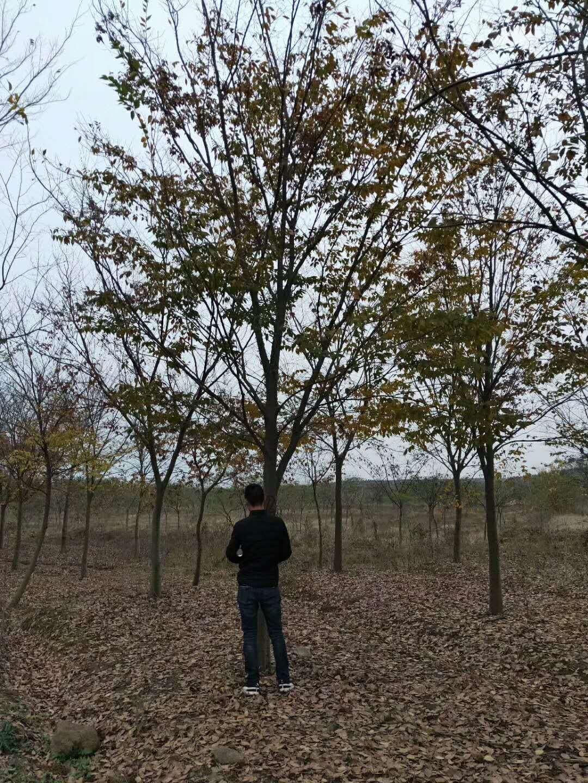 山东客户赵总采购8公分榉树,考察榉树基地