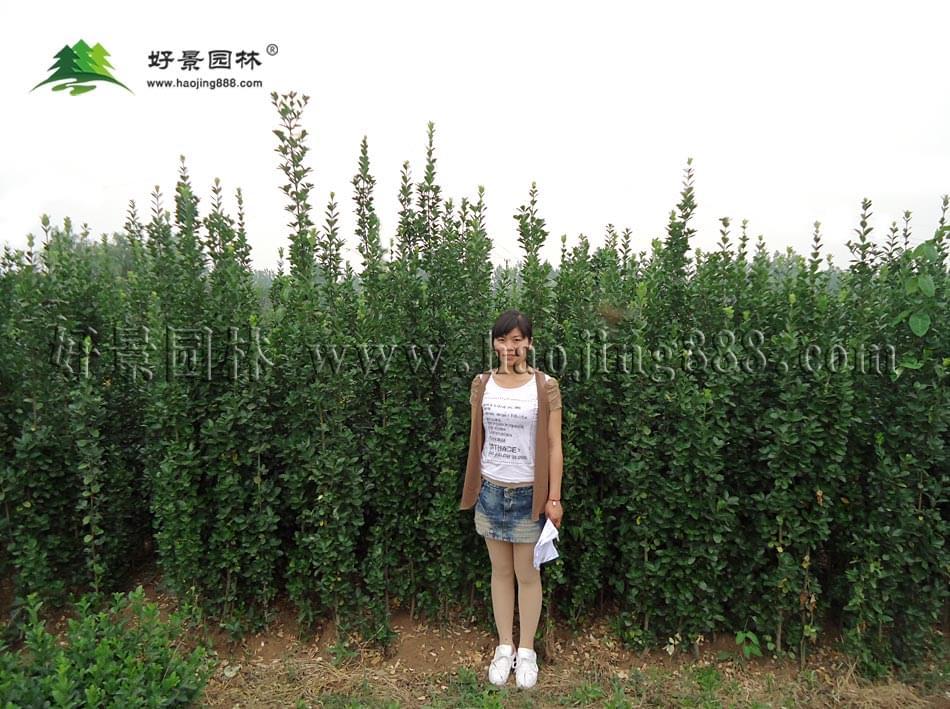 北海道黄杨 (3)