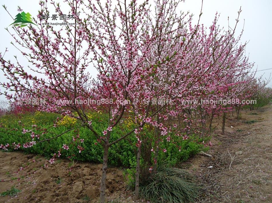 公司桃树成长图