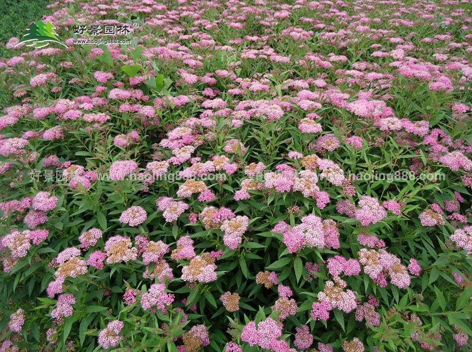红花绣线菊
