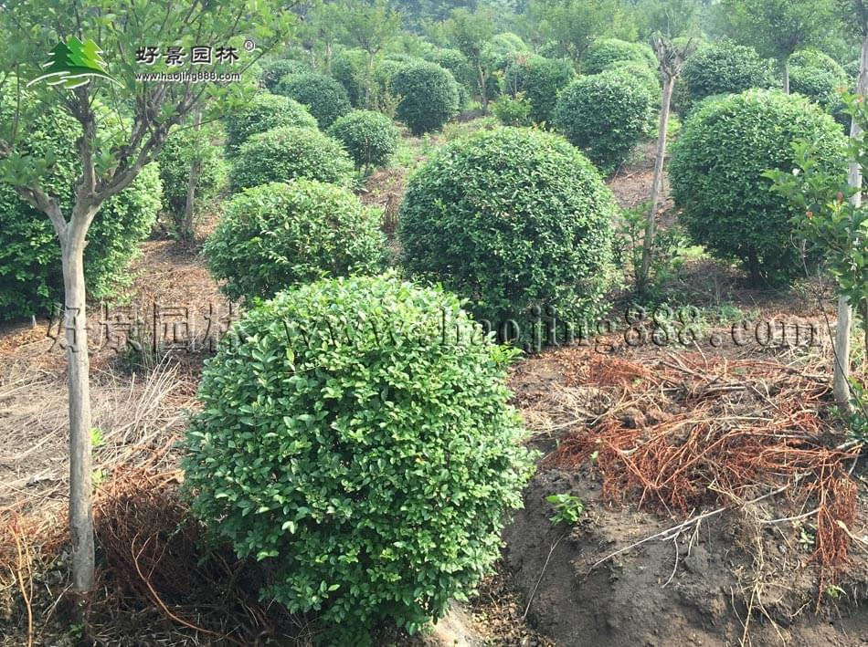 灌木 绿化苗木 苗 苗木 树 植物 950_709