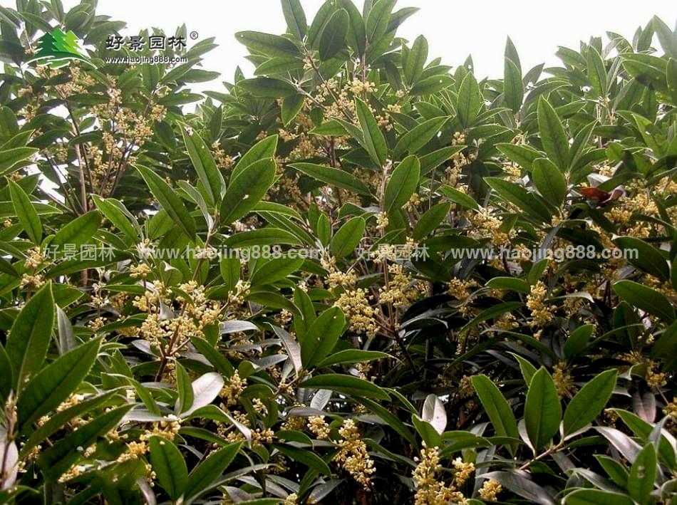 沭阳好景园林苗木场主要出产:四季桂花,速生杨,速生柳,丝棉木,桑树